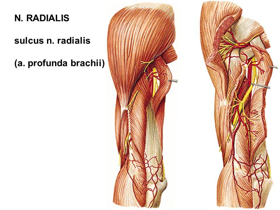 sulcus n. radialis (a. profunda brachii)