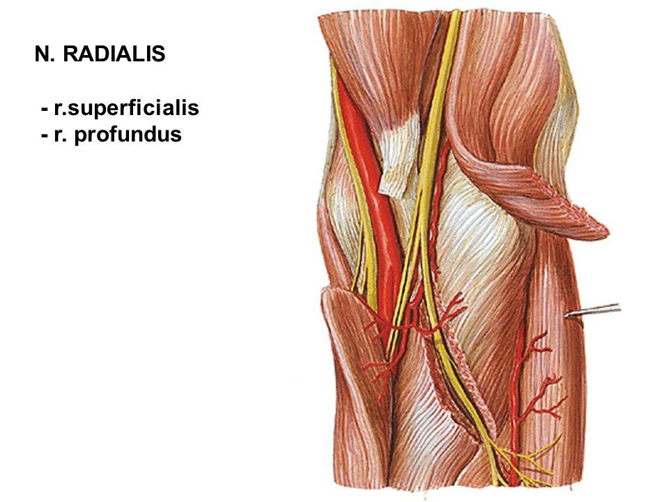 N. RADIALIS - r.superficialis - r. profundus