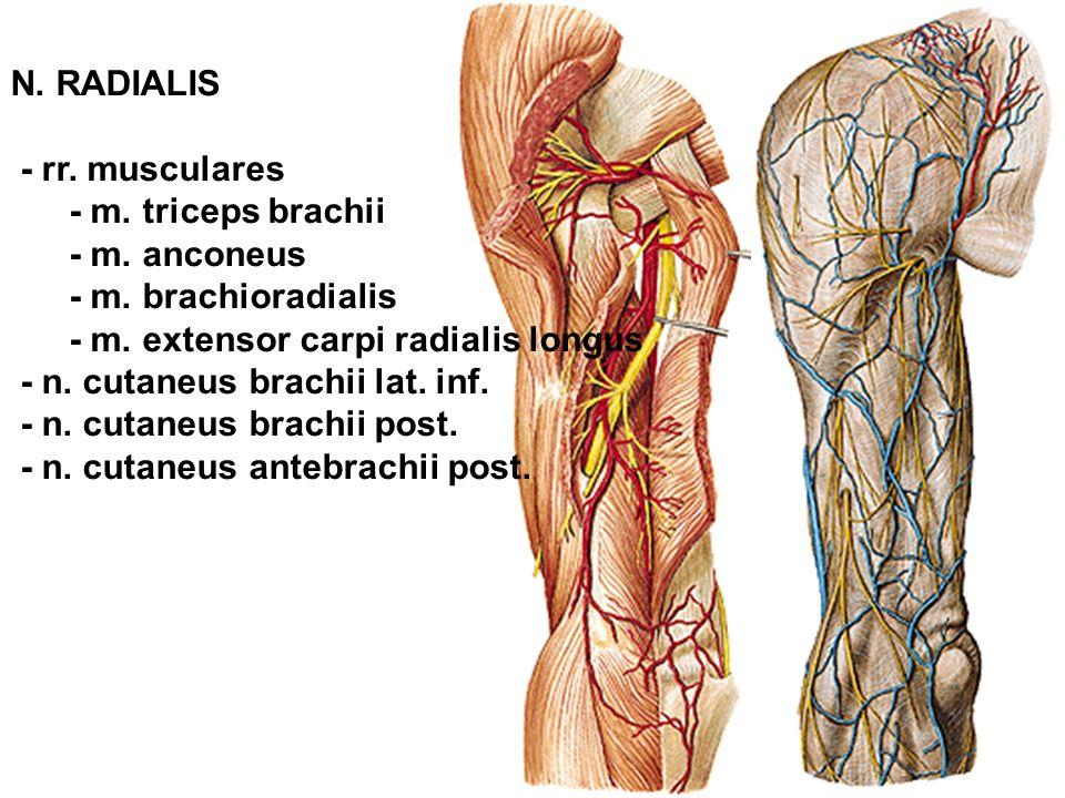 N. RADIALIS - rr. musculares - m. triceps brachii - m. anconeus - m. brachioradialis - m. extensor carpi radialis longus - n. cutaneus brachii lat. in