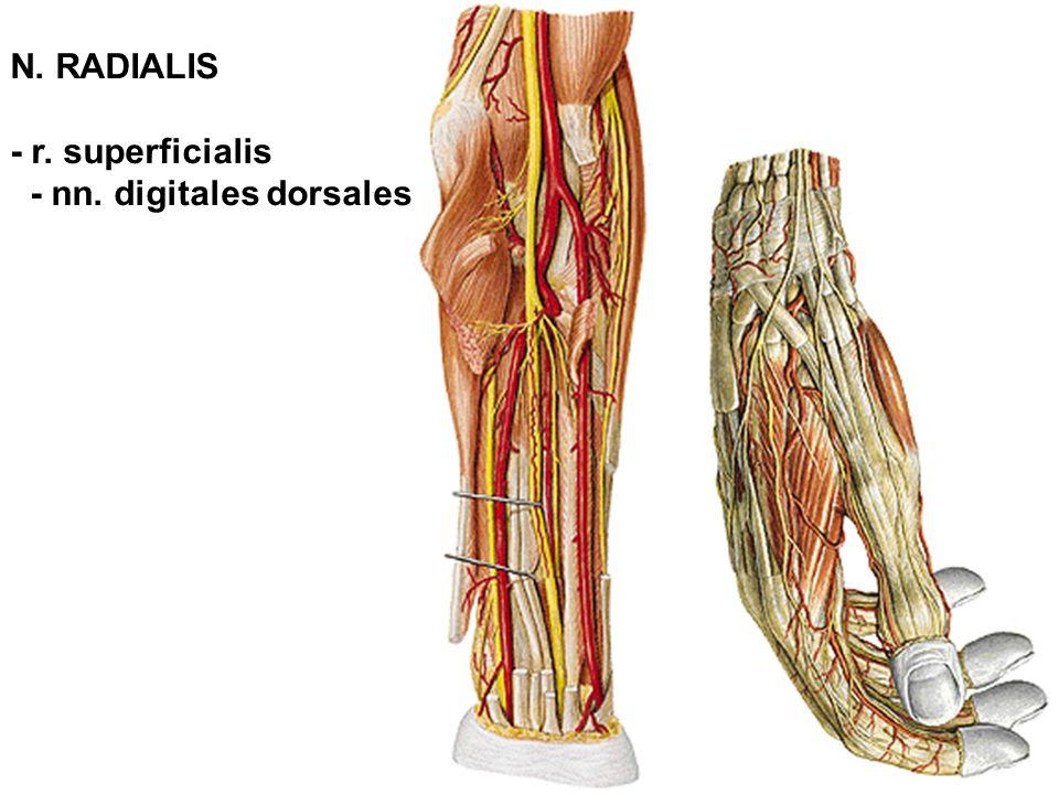 N. RADIALIS - r. superficialis - nn. digitales dorsales