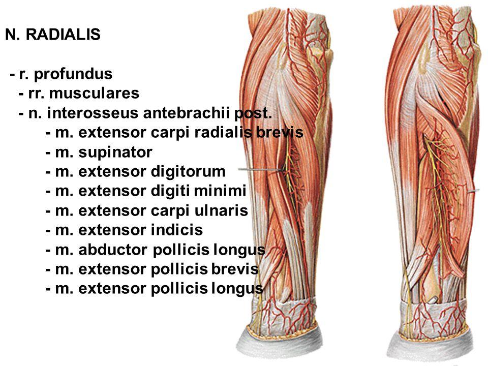 N. RADIALIS - r. profundus - rr. musculares - n. interosseus antebrachii post. - m. extensor carpi radialis brevis - m. supinator - m. extensor digito