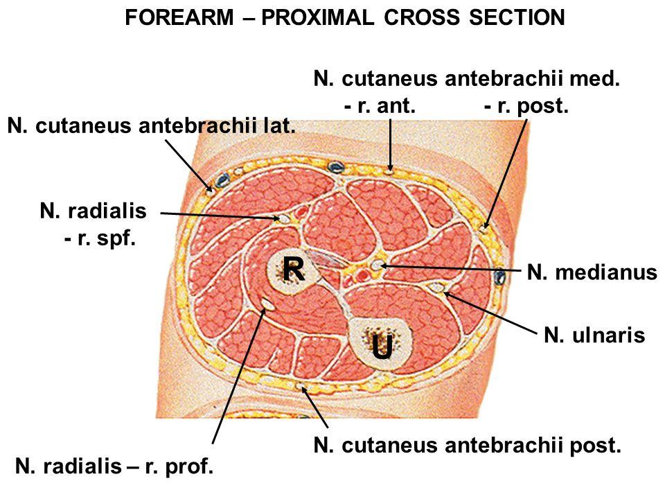 FOREARM – PROXIMAL CROSS SECTION R U N. radialis - r. spf. N. ulnaris N. radialis – r. prof. N. cutaneus antebrachii lat. N. cutaneus antebrachii med.