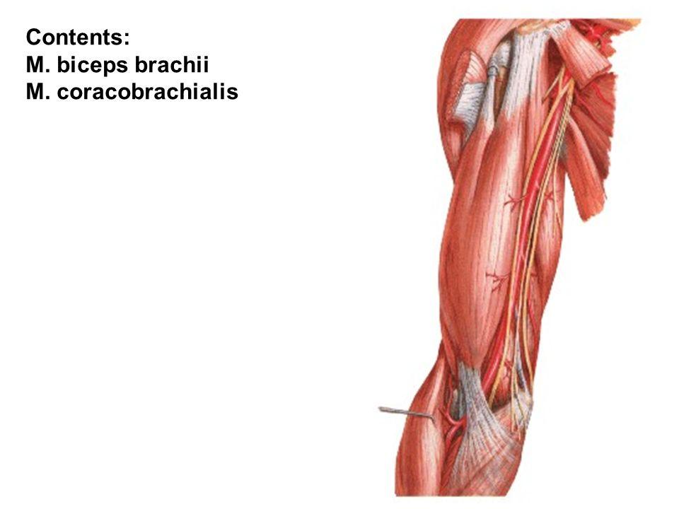 Contents: M. biceps brachii M. coracobrachialis