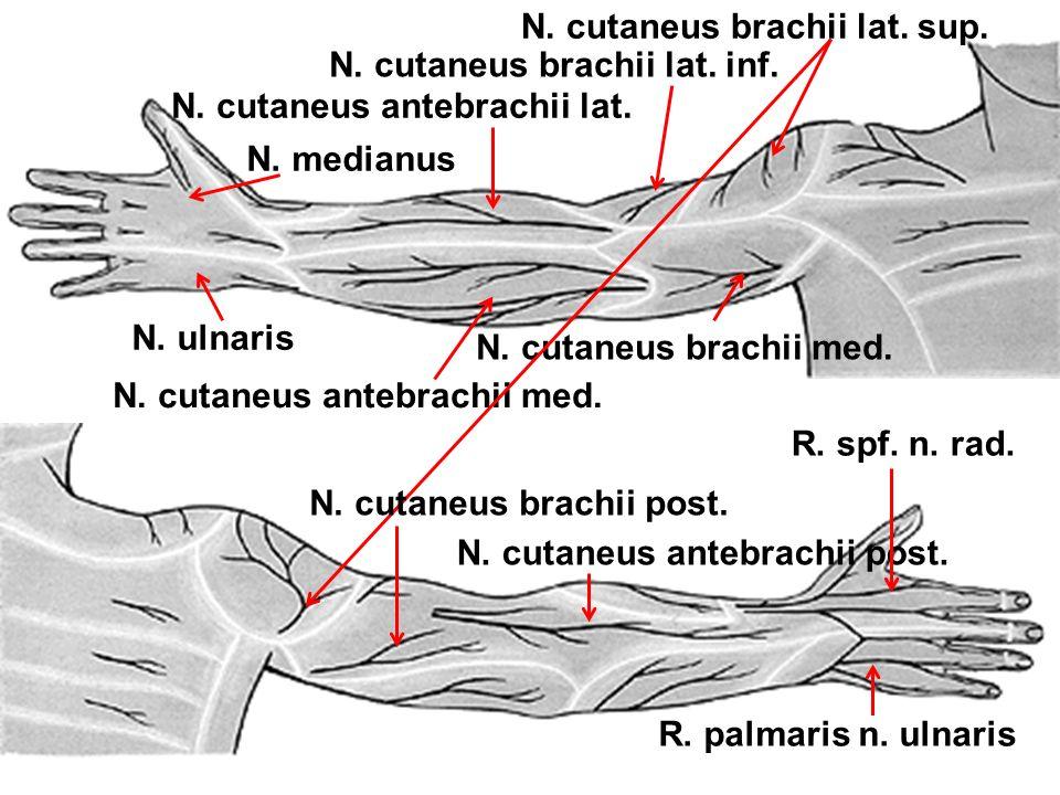N. cutaneus brachii lat. sup. N. cutaneus brachii lat. inf. N. cutaneus antebrachii lat. N. cutaneus antebrachii med. N. cutaneus brachii med. N. medi