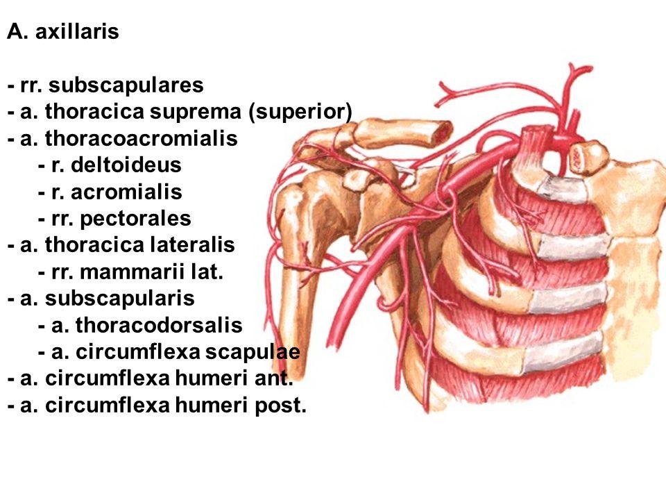 A. axillaris - rr. subscapulares - a. thoracica suprema (superior) - a. thoracoacromialis - r. deltoideus - r. acromialis - rr. pectorales - a. thorac