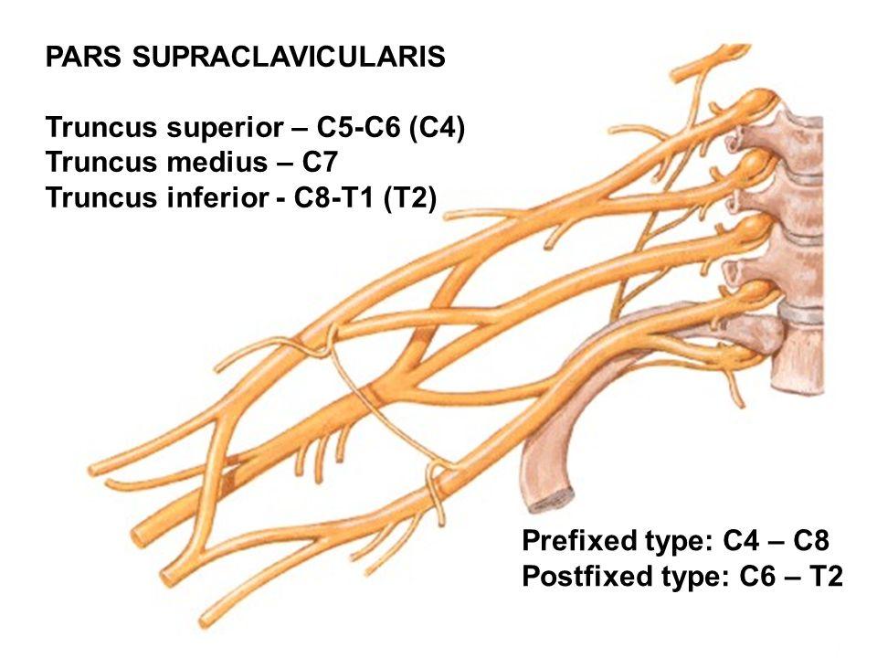PARS SUPRACLAVICULARIS Truncus superior – C5-C6 (C4) Truncus medius – C7 Truncus inferior - C8-T1 (T2) Prefixed type: C4 – C8 Postfixed type: C6 – T2