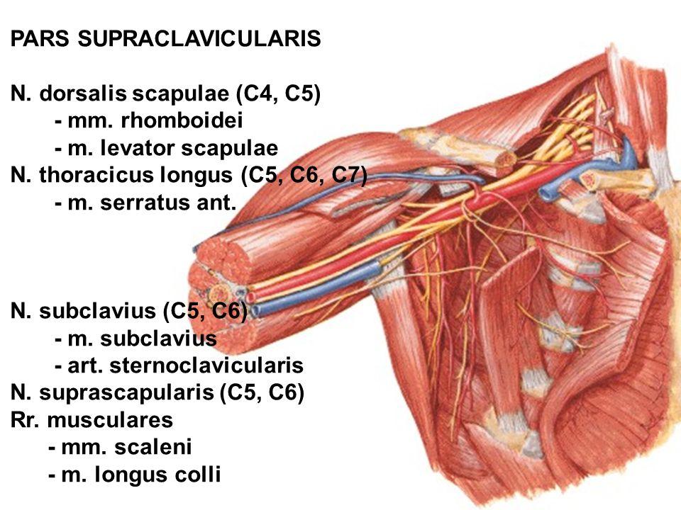 PARS SUPRACLAVICULARIS N. dorsalis scapulae (C4, C5) - mm. rhomboidei - m. levator scapulae N. thoracicus longus (C5, C6, C7) - m. serratus ant. N. su