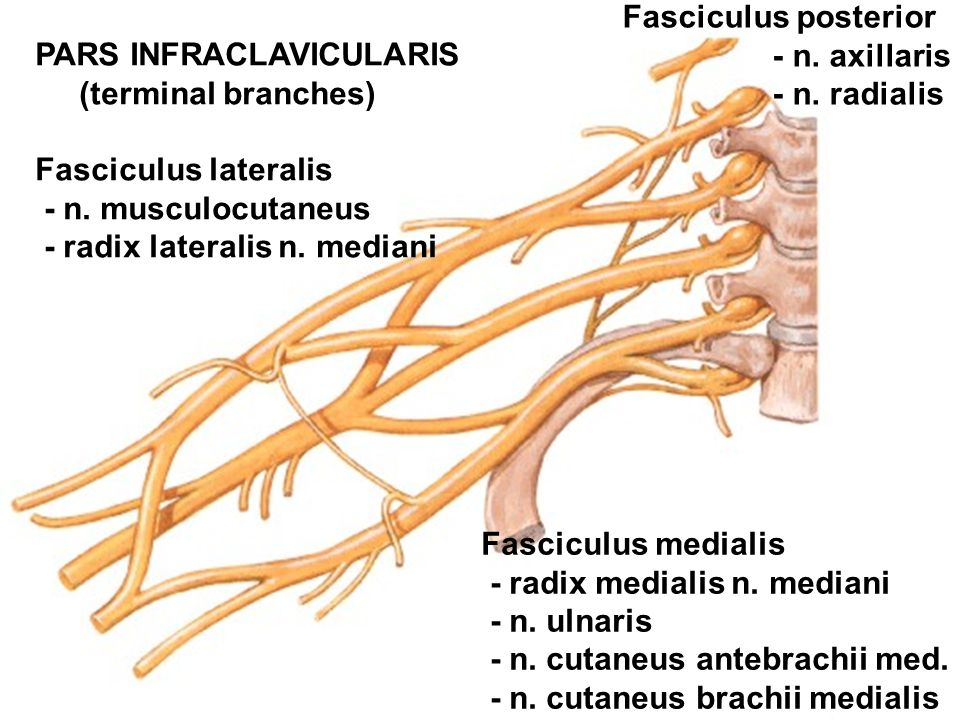 PARS INFRACLAVICULARIS (terminal branches) Fasciculus lateralis - n.