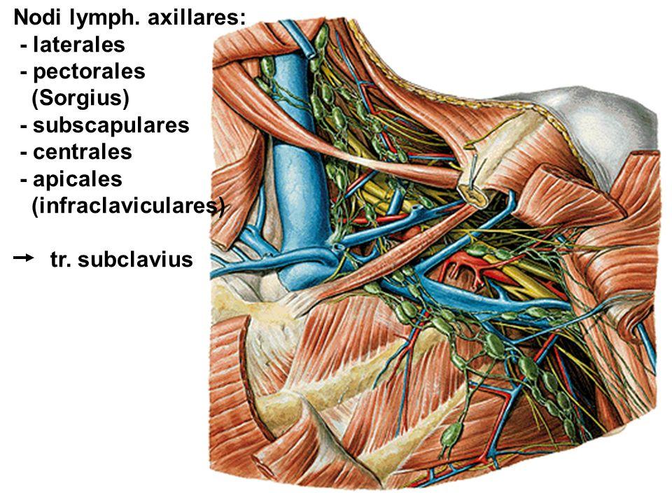 Nodi lymph. axillares: - laterales - pectorales (Sorgius) - subscapulares - centrales - apicales (infraclaviculares) tr. subclavius