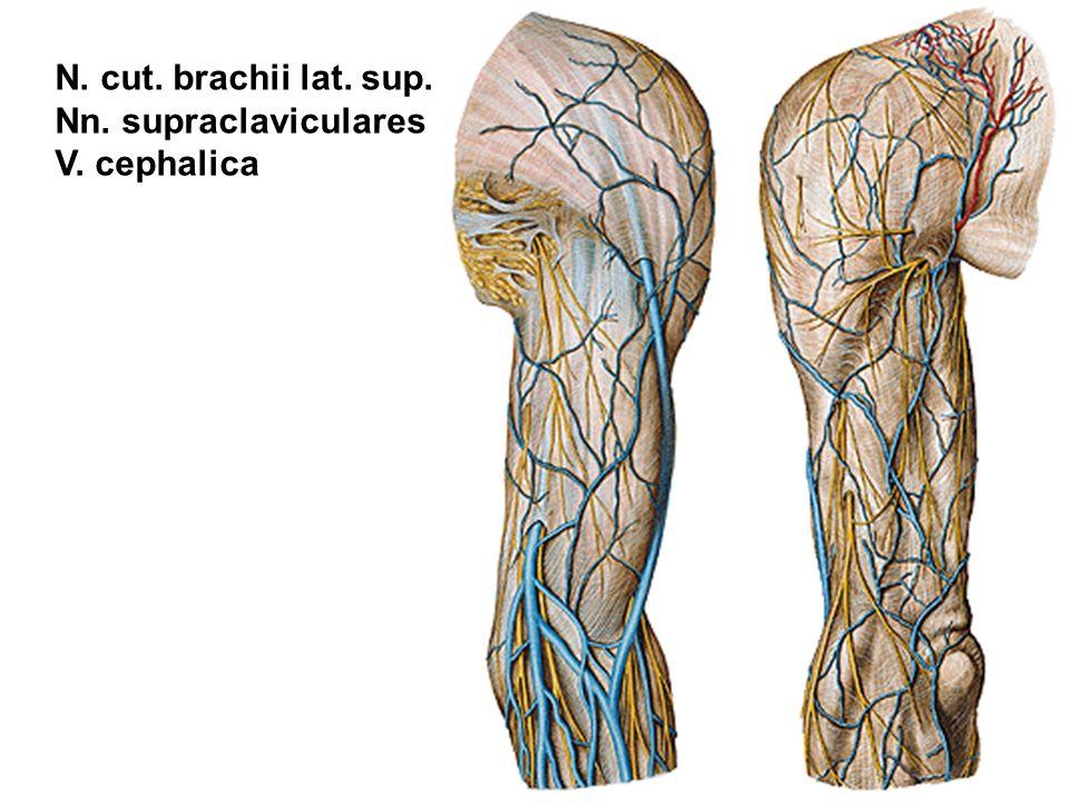 N. cut. brachii lat. sup. Nn. supraclaviculares V. cephalica