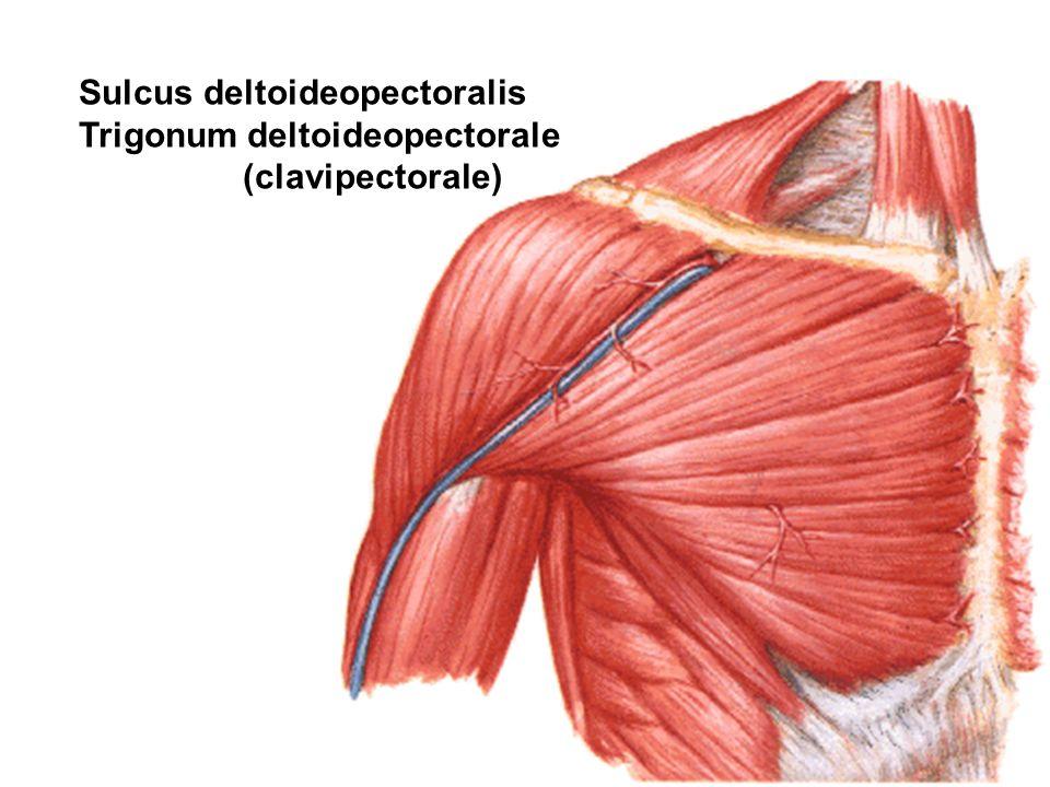 Sulcus deltoideopectoralis Trigonum deltoideopectorale (clavipectorale)