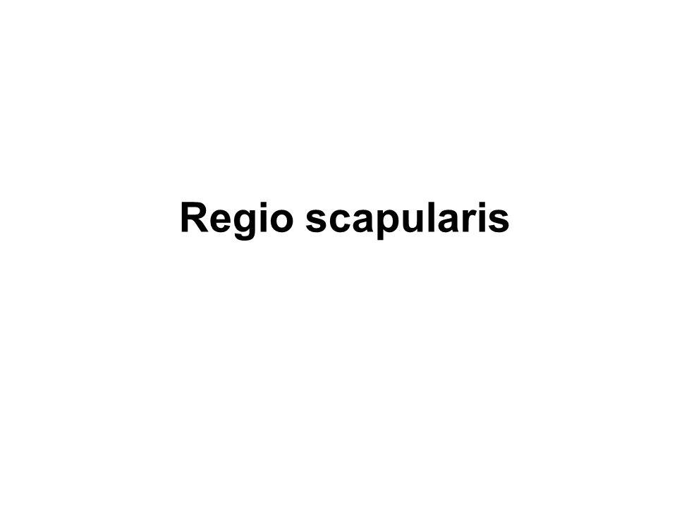 Regio scapularis