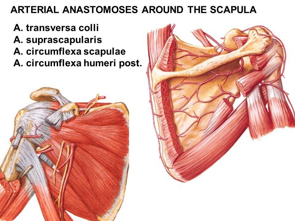 ARTERIAL ANASTOMOSES AROUND THE SCAPULA A. transversa colli A. suprascapularis A. circumflexa scapulae A. circumflexa humeri post.