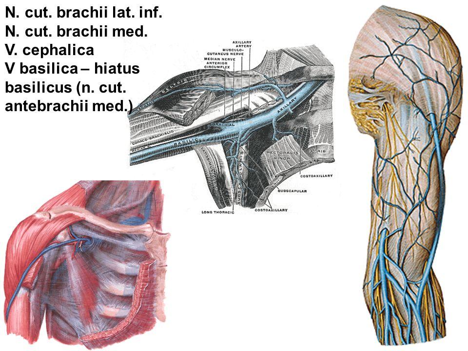 N. cut. brachii lat. inf. N. cut. brachii med. V. cephalica V basilica – hiatus basilicus (n. cut. antebrachii med.)