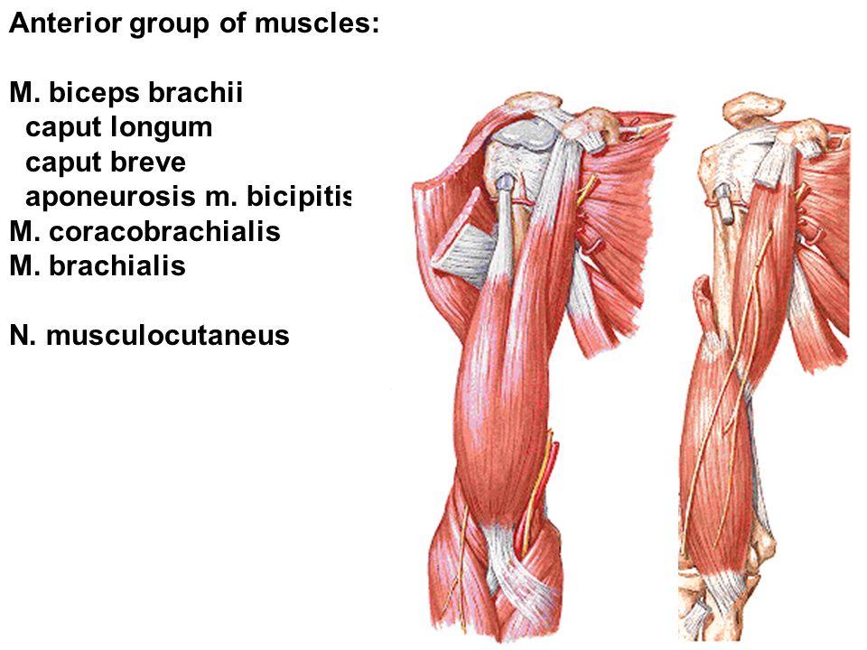 Anterior group of muscles: M. biceps brachii caput longum caput breve aponeurosis m. bicipitis brachii M. coracobrachialis M. brachialis N. musculocut