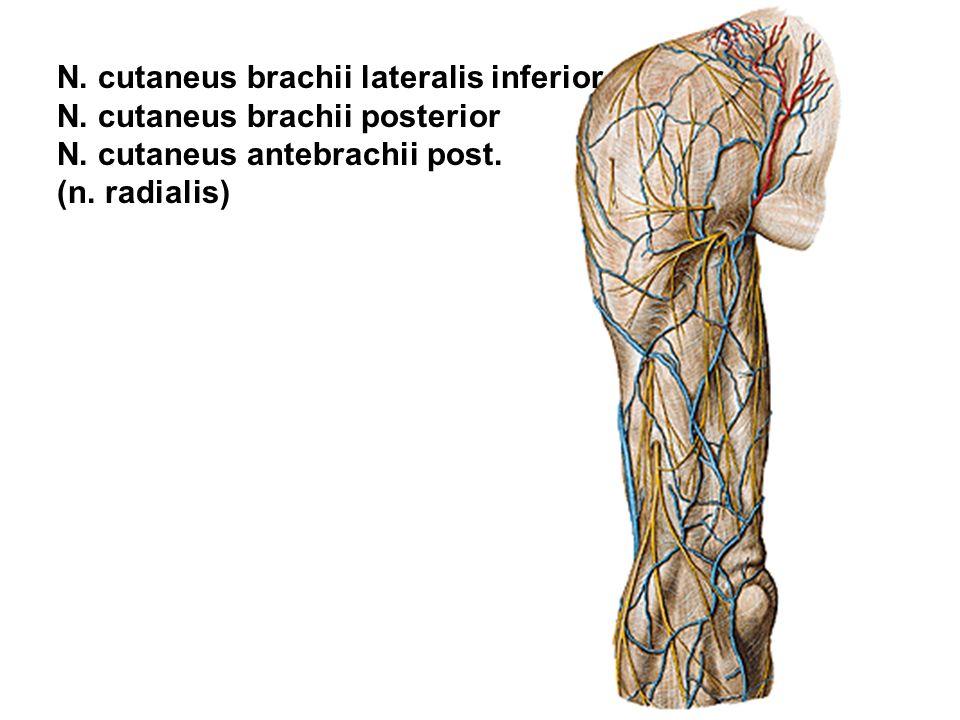 N. cutaneus brachii lateralis inferior N. cutaneus brachii posterior N. cutaneus antebrachii post. (n. radialis)