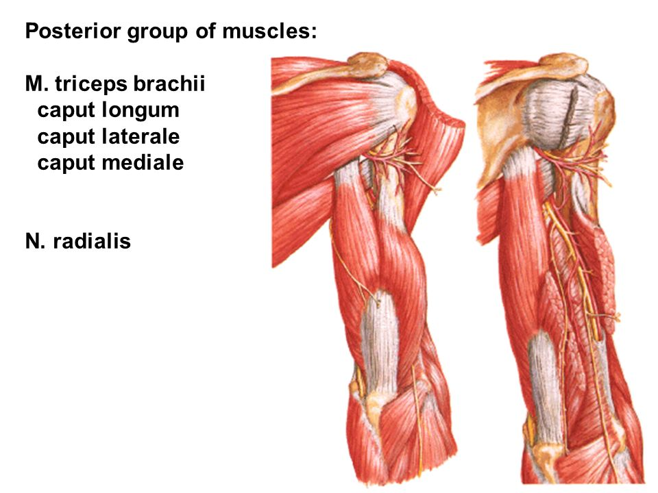 Posterior group of muscles: M. triceps brachii caput longum caput laterale caput mediale N.