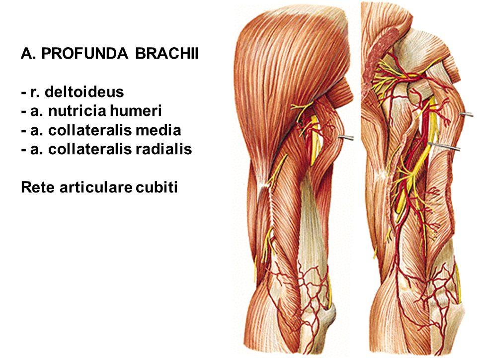 A. PROFUNDA BRACHII - r. deltoideus - a. nutricia humeri - a. collateralis media - a. collateralis radialis Rete articulare cubiti