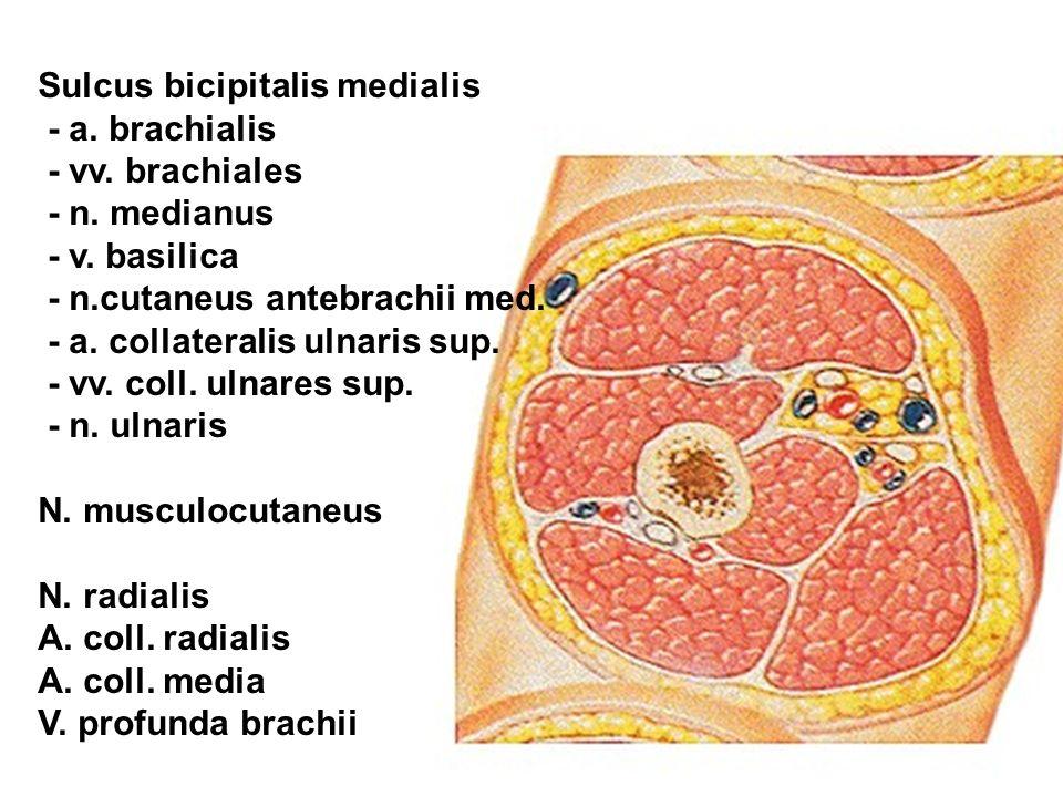 Sulcus bicipitalis medialis - a. brachialis - vv. brachiales - n. medianus - v. basilica - n.cutaneus antebrachii med. - a. collateralis ulnaris sup.