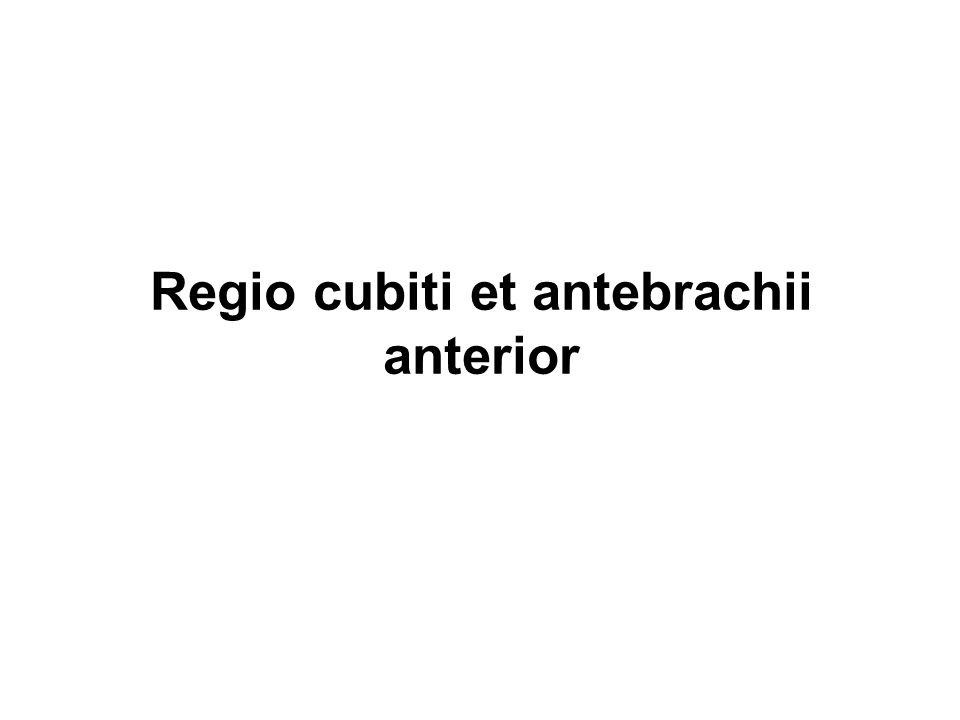 Regio cubiti et antebrachii anterior