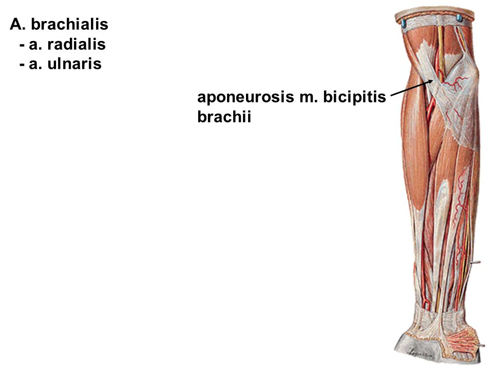 aponeurosis m. bicipitis brachii A. brachialis - a. radialis - a. ulnaris
