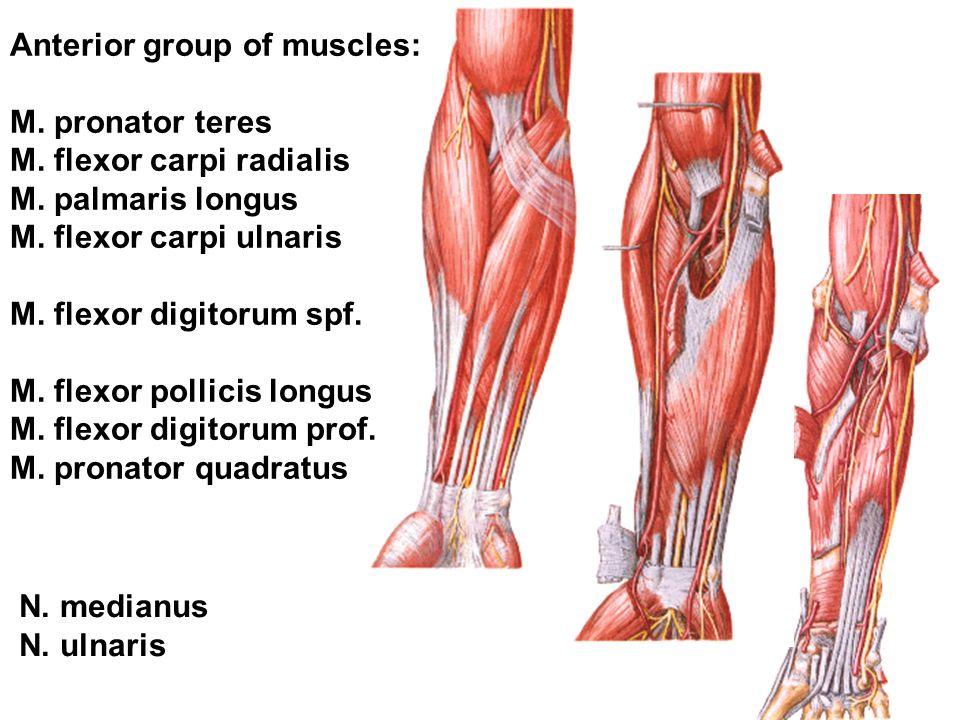Anterior group of muscles: M. pronator teres M. flexor carpi radialis M. palmaris longus M. flexor carpi ulnaris M. flexor digitorum spf. M. flexor po