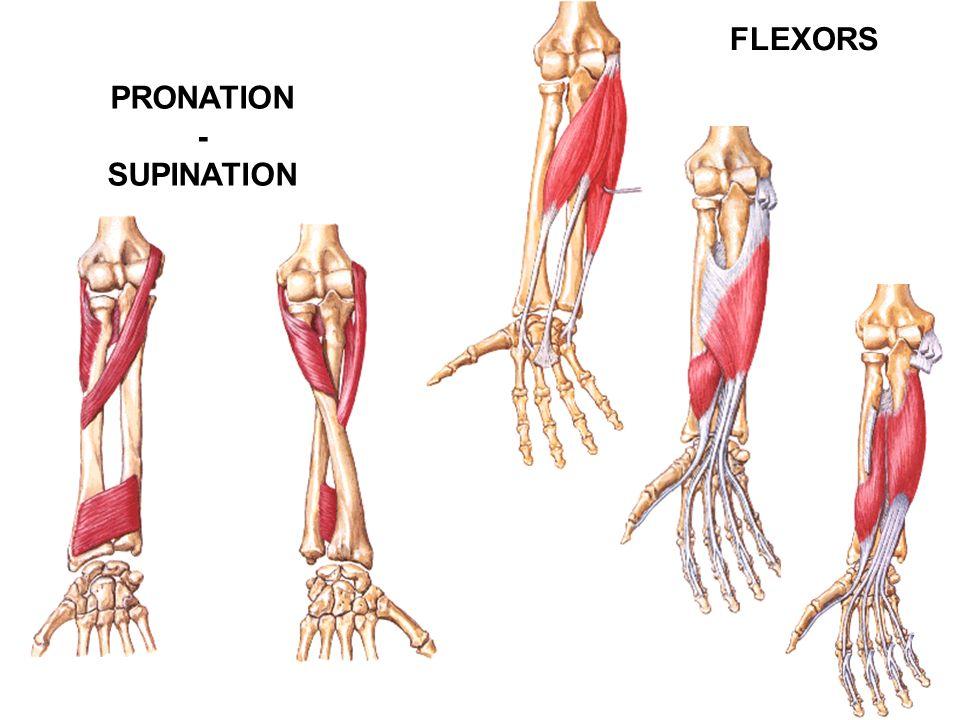 PRONATION - SUPINATION FLEXORS
