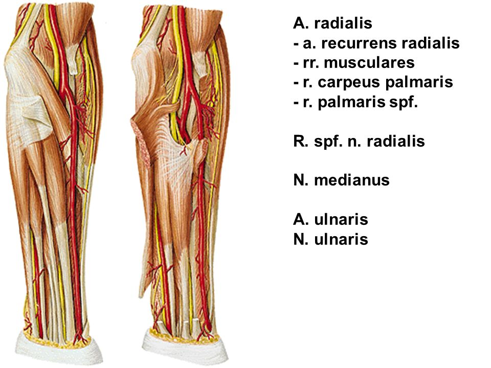 A. radialis - a. recurrens radialis - rr. musculares - r. carpeus palmaris - r. palmaris spf. R. spf. n. radialis N. medianus A. ulnaris N. ulnaris