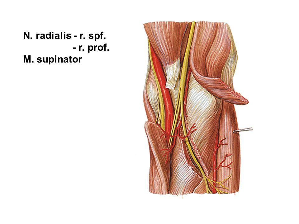 N. radialis - r. spf. - r. prof. M. supinator