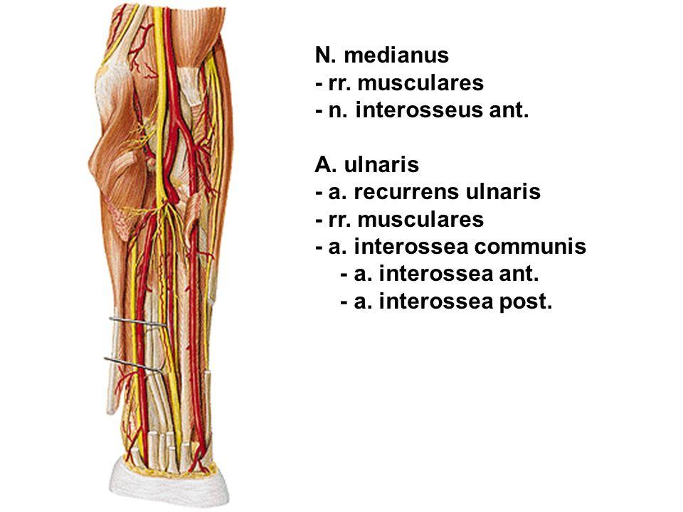 N. medianus - rr. musculares - n. interosseus ant. A. ulnaris - a. recurrens ulnaris - rr. musculares - a. interossea communis - a. interossea ant. -
