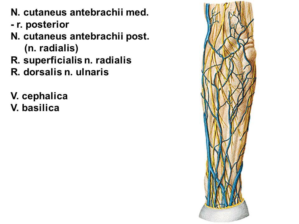 N. cutaneus antebrachii med. - r. posterior N. cutaneus antebrachii post. (n. radialis) R. superficialis n. radialis R. dorsalis n. ulnaris V. cephali
