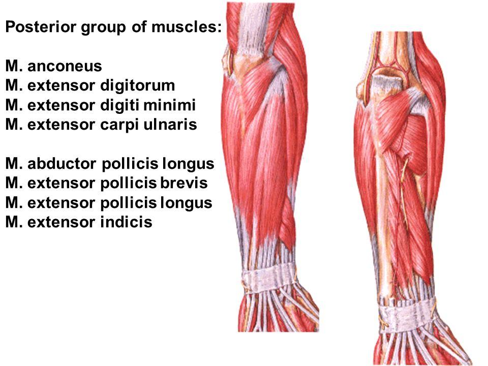 Posterior group of muscles: M. anconeus M. extensor digitorum M. extensor digiti minimi M. extensor carpi ulnaris M. abductor pollicis longus M. exten