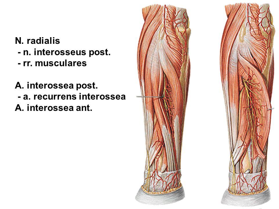 N. radialis - n. interosseus post. - rr. musculares A. interossea post. - a. recurrens interossea A. interossea ant.
