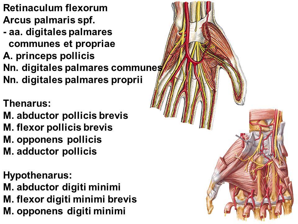 Retinaculum flexorum Arcus palmaris spf. - aa. digitales palmares communes et propriae A. princeps pollicis Nn. digitales palmares communes Nn. digita