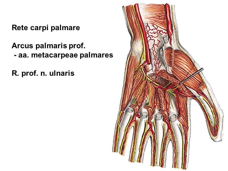 Rete carpi palmare Arcus palmaris prof. - aa. metacarpeae palmares R. prof. n. ulnaris