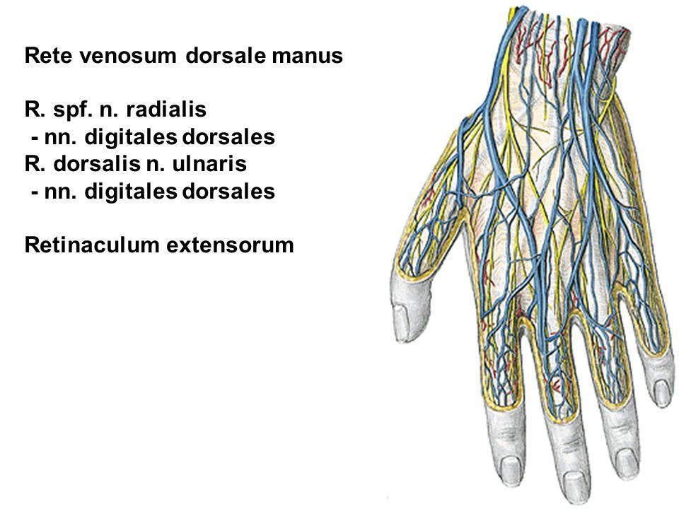 Rete venosum dorsale manus R. spf. n. radialis - nn. digitales dorsales R. dorsalis n. ulnaris - nn. digitales dorsales Retinaculum extensorum