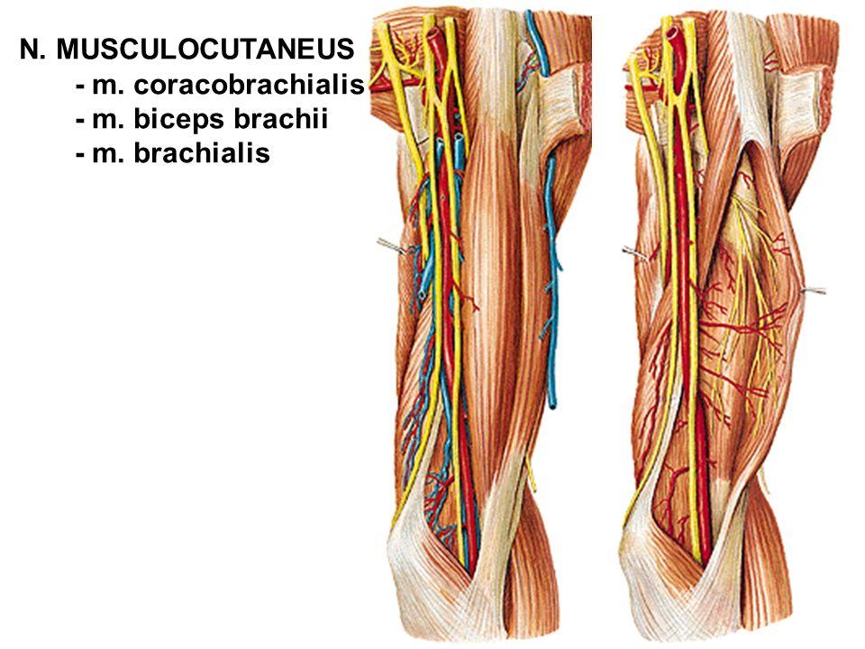 N. MUSCULOCUTANEUS - m. coracobrachialis - m. biceps brachii - m. brachialis