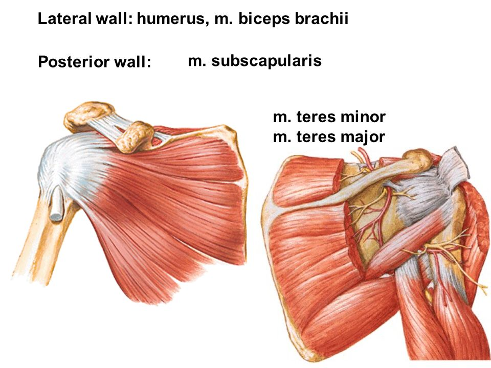 m. subscapularis m. teres minor m. teres major Posterior wall: Lateral wall: humerus, m. biceps brachii