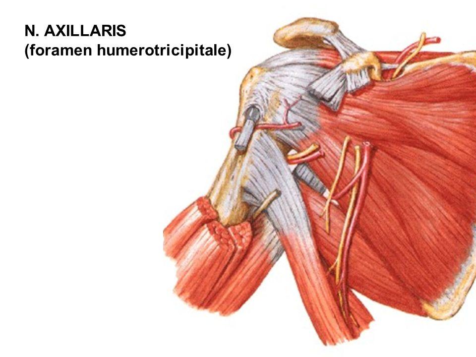 N. AXILLARIS (foramen humerotricipitale)