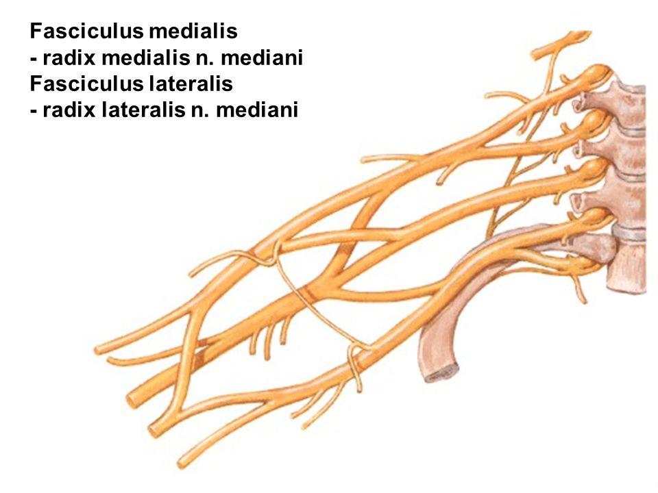 Fasciculus medialis - radix medialis n. mediani Fasciculus lateralis - radix lateralis n. mediani