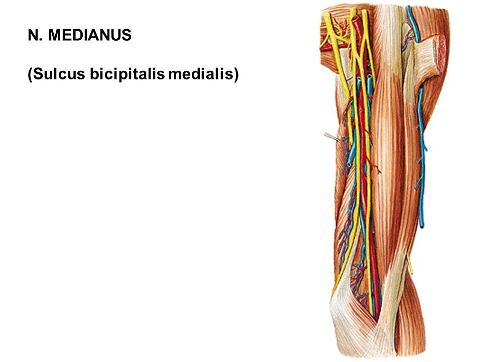(Sulcus bicipitalis medialis)