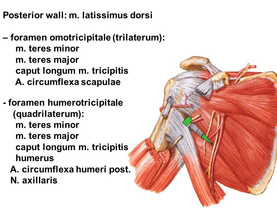 Posterior wall: m. latissimus dorsi – foramen omotricipitale (trilaterum): m. teres minor m. teres major caput longum m. tricipitis A. circumflexa sca