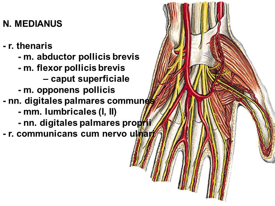 N. MEDIANUS - r. thenaris - m. abductor pollicis brevis - m. flexor pollicis brevis – caput superficiale - m. opponens pollicis - nn. digitales palmar