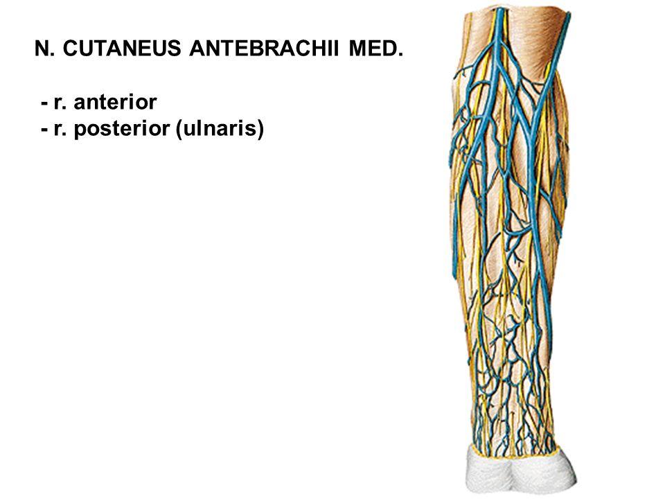 - r. anterior - r. posterior (ulnaris)