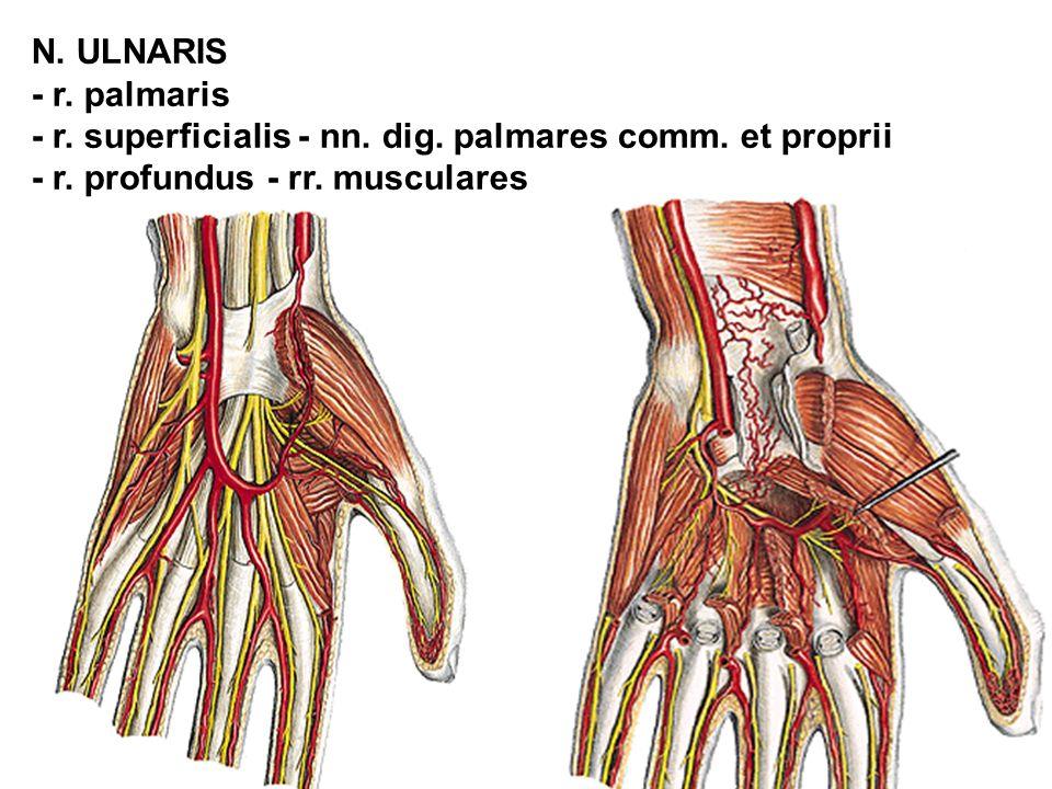 N. ULNARIS - r. palmaris - r. superficialis - nn. dig. palmares comm. et proprii - r. profundus - rr. musculares