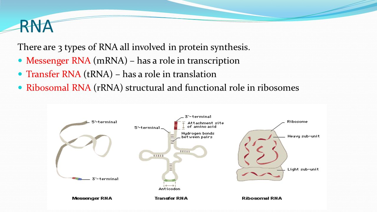worksheet 13.2 Ribosomes And Protein Synthesis Worksheet need to book plasticene repro transcription translation video rna there are 3 types of all involved in protein synthesis