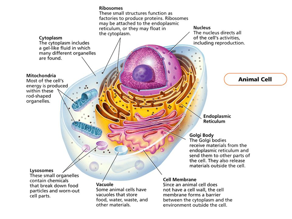 the importance of animal cells How can people learn about it why is it interesting what can be done in terms of research that is not being done the importance of plant and animal cells.