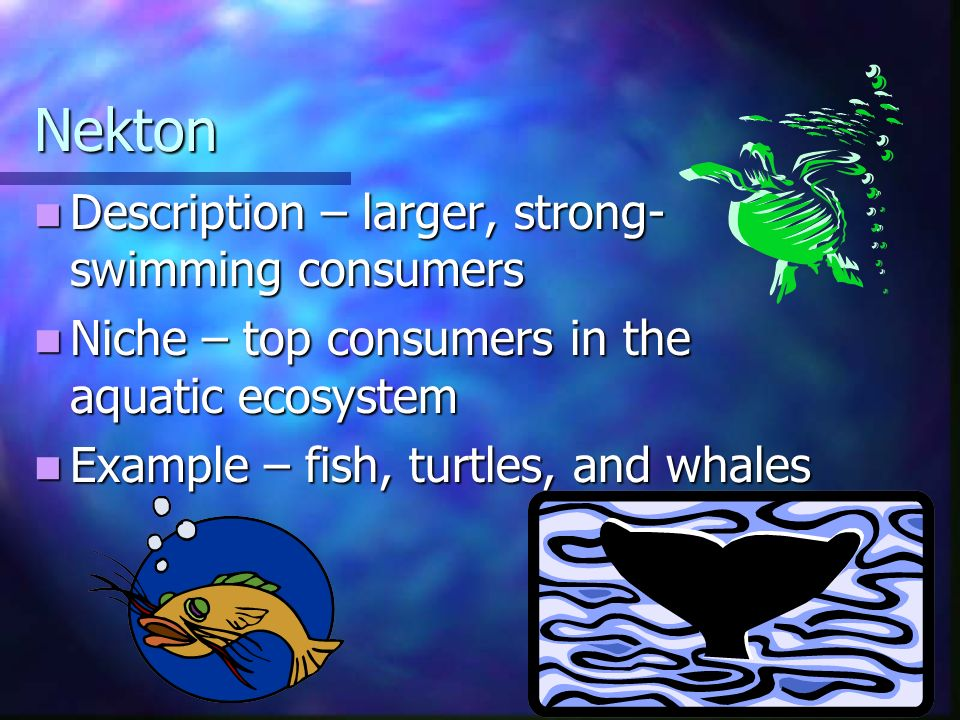 Nekton Description – larger, strong- swimming consumers Description – larger, strong- swimming consumers Niche – top consumers in the aquatic ecosystem Niche – top consumers in the aquatic ecosystem Example – fish, turtles, and whales Example – fish, turtles, and whales