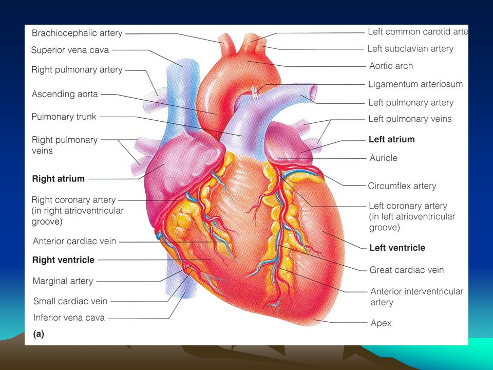 Blood Vessels Major Arteries Of Systemic Circulation Aorta