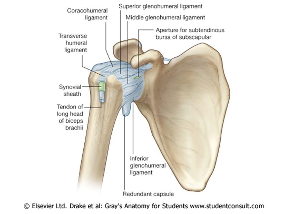 Berühmt Glenohumeral Ligaments Anatomy Fotos - Menschliche Anatomie ...